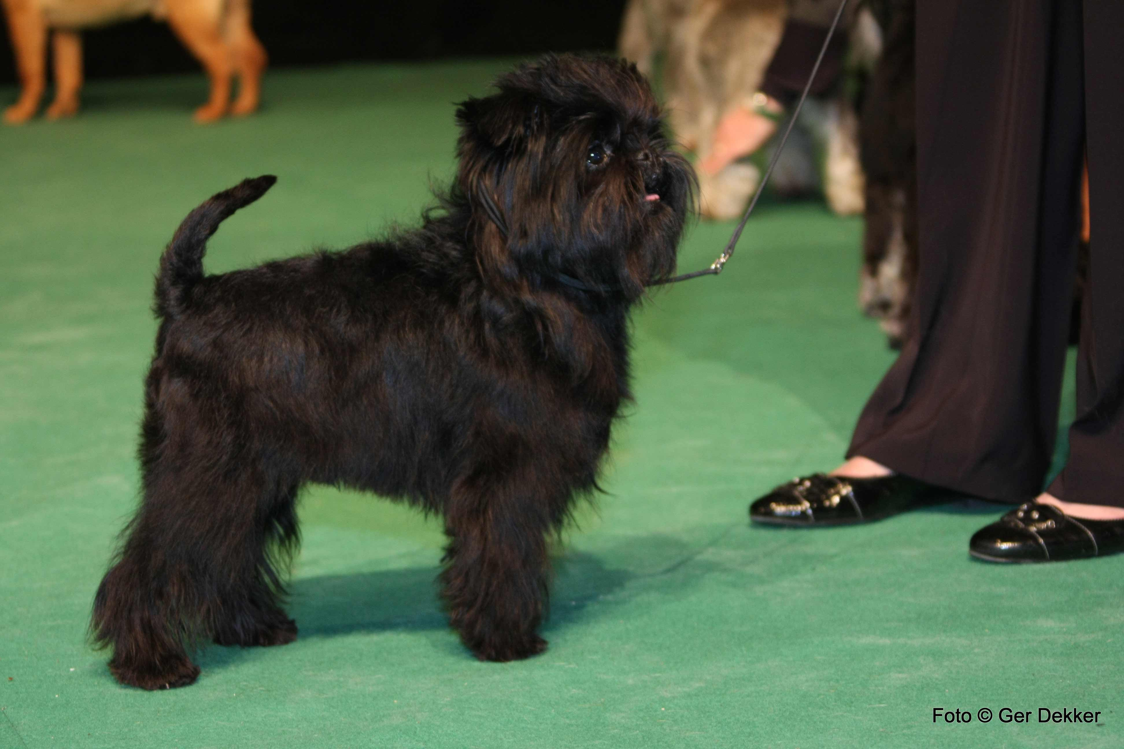 Affenpinscher Dog Breed Pictures Photos Amp Images