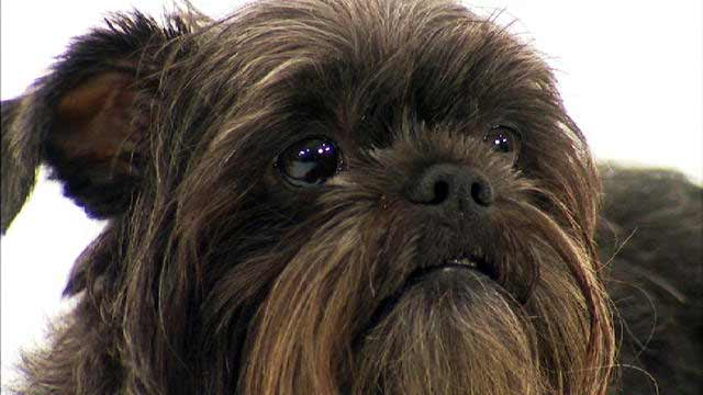 Affenpinscher Dog Breed » Information, Pictures, & More