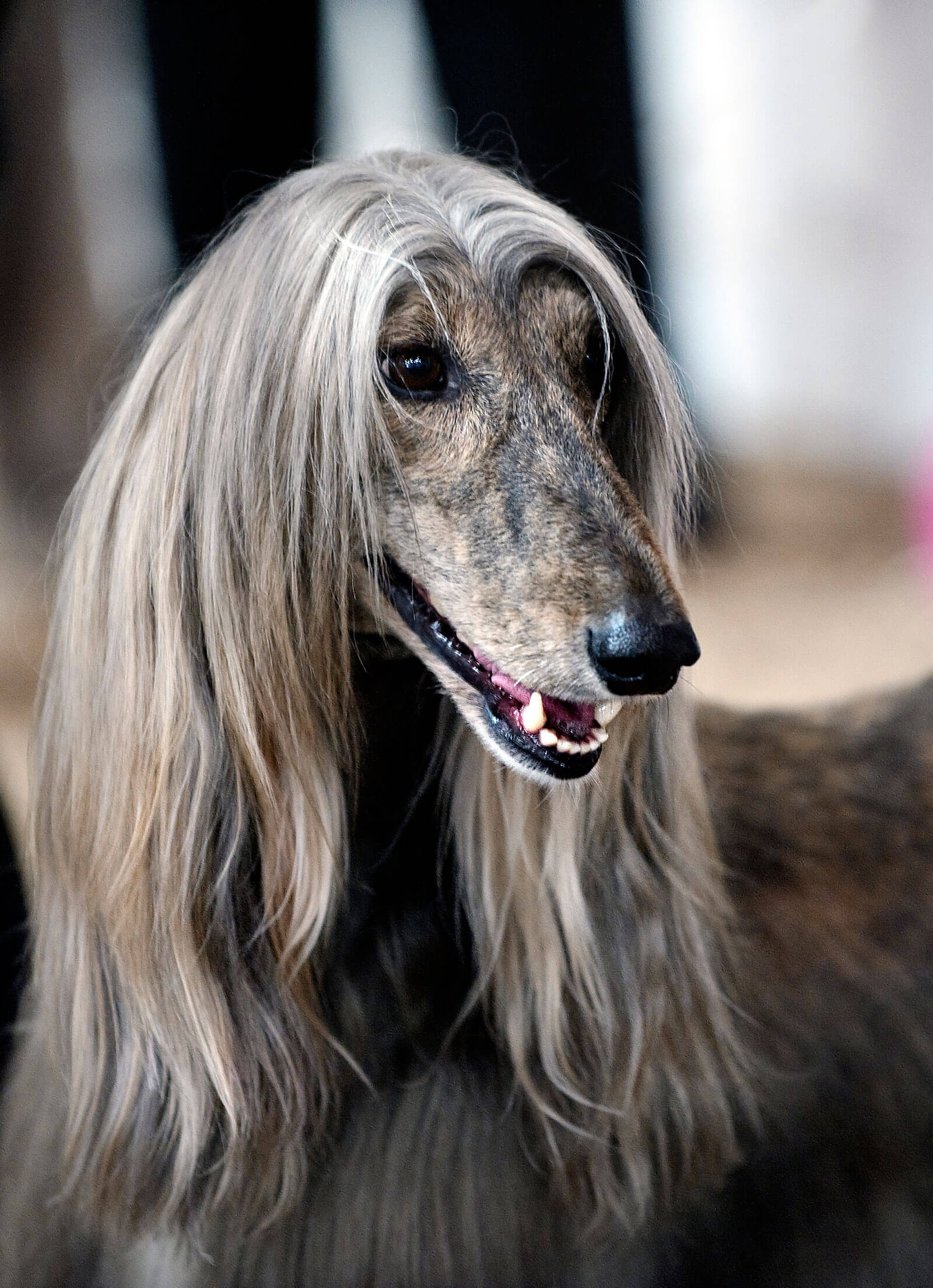 Afghan Hound Dog Breed » Information, Pictures, & More