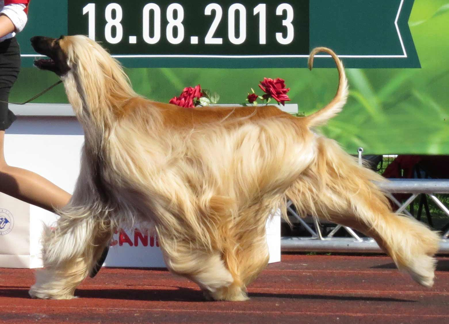 Afghan Hound Dog Breed 187 Information Pictures Amp More