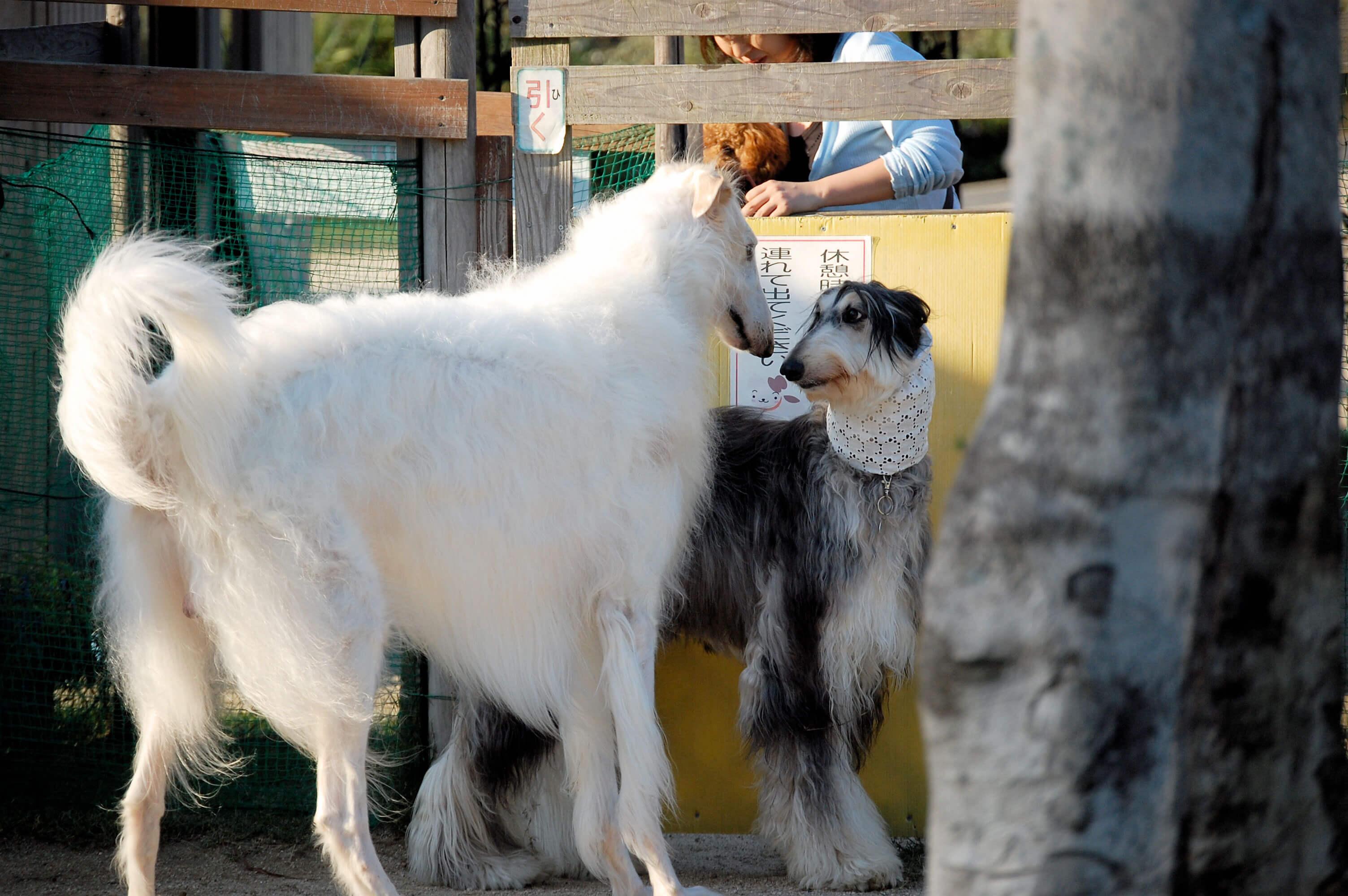 Afghan Hound Dog Breed...