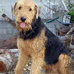 Black And Tan Airedale Terrier
