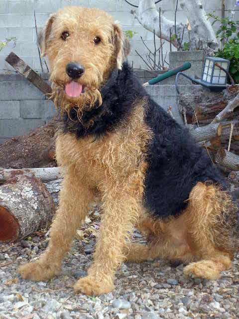 Airedale Terrier Dog Breed » Information, Pictures, & More
