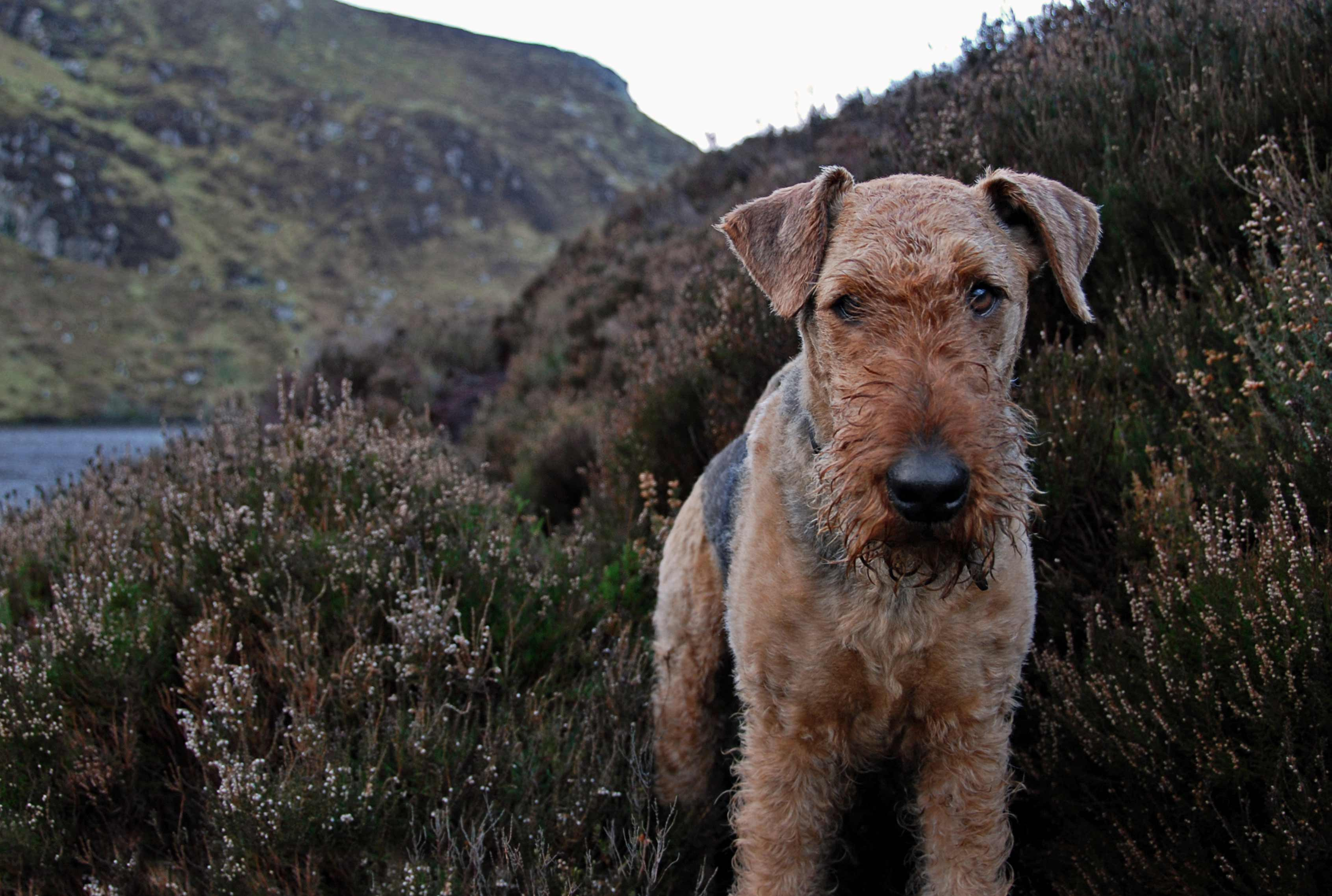 airedale terrier dog breed information pictures more. Black Bedroom Furniture Sets. Home Design Ideas
