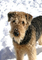 Airedale Terrier Dog Breed » Information, Pictures,  More