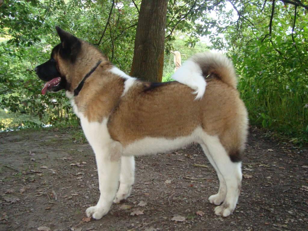 A Akita Dog Akita Dog Breed »...