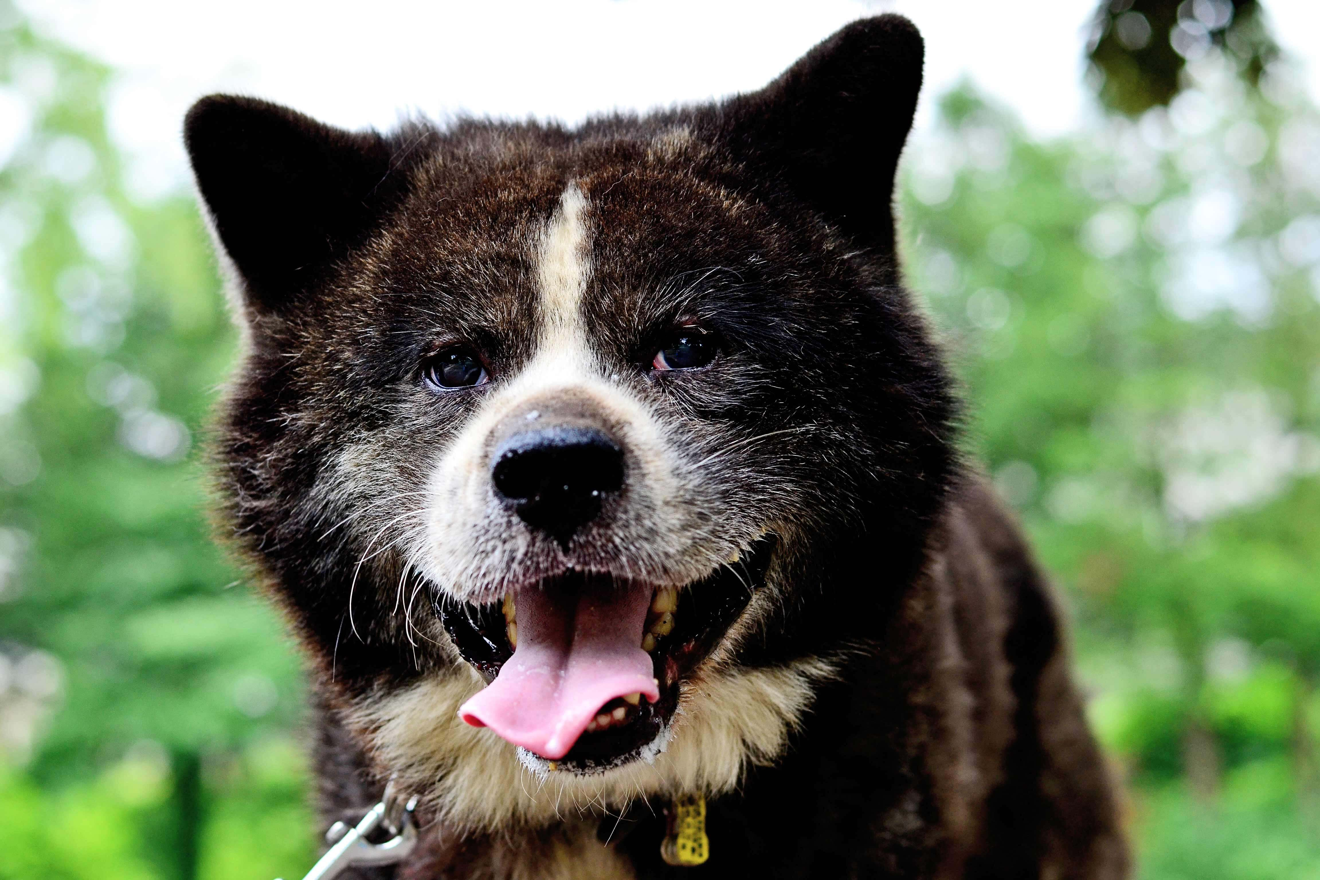 Akita Dog Breed 187 Information Pictures Amp More
