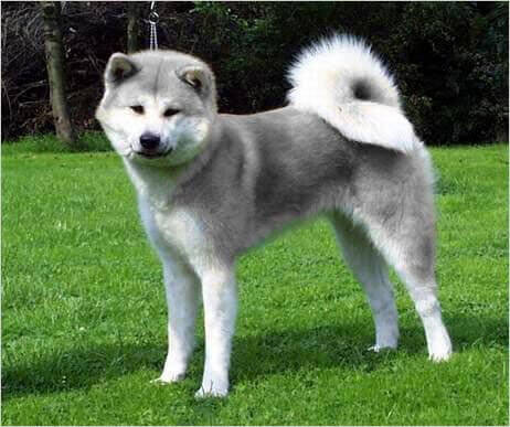 Silver Akita akita dog breed » information, pictures, & more