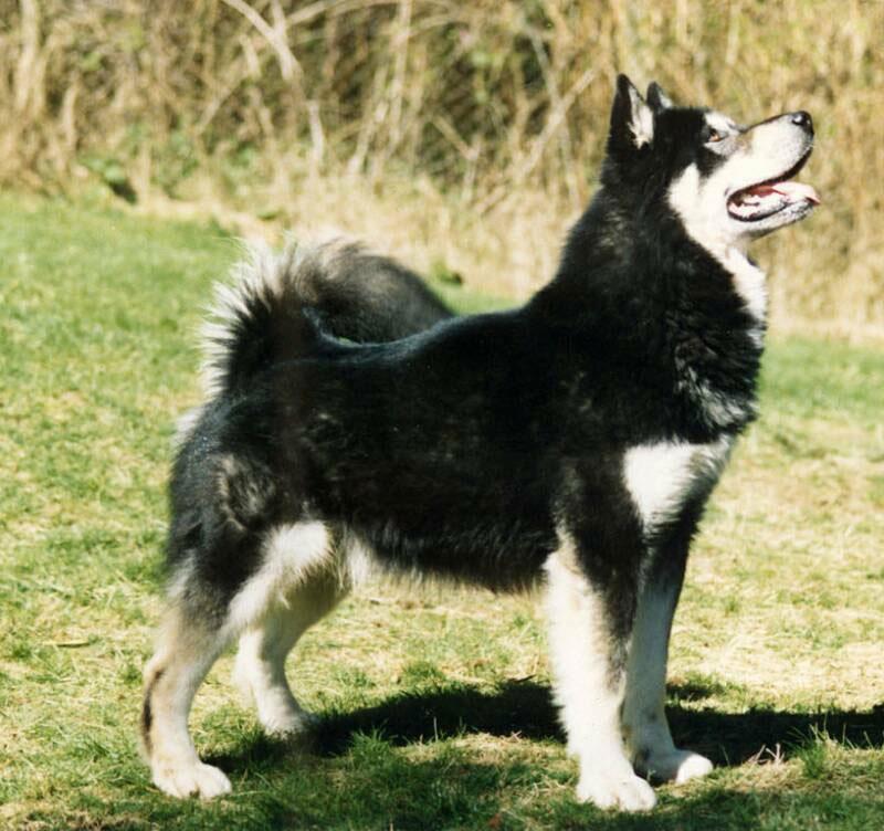 Agouti Siberian Huskies  Colors of the Siberian Husky