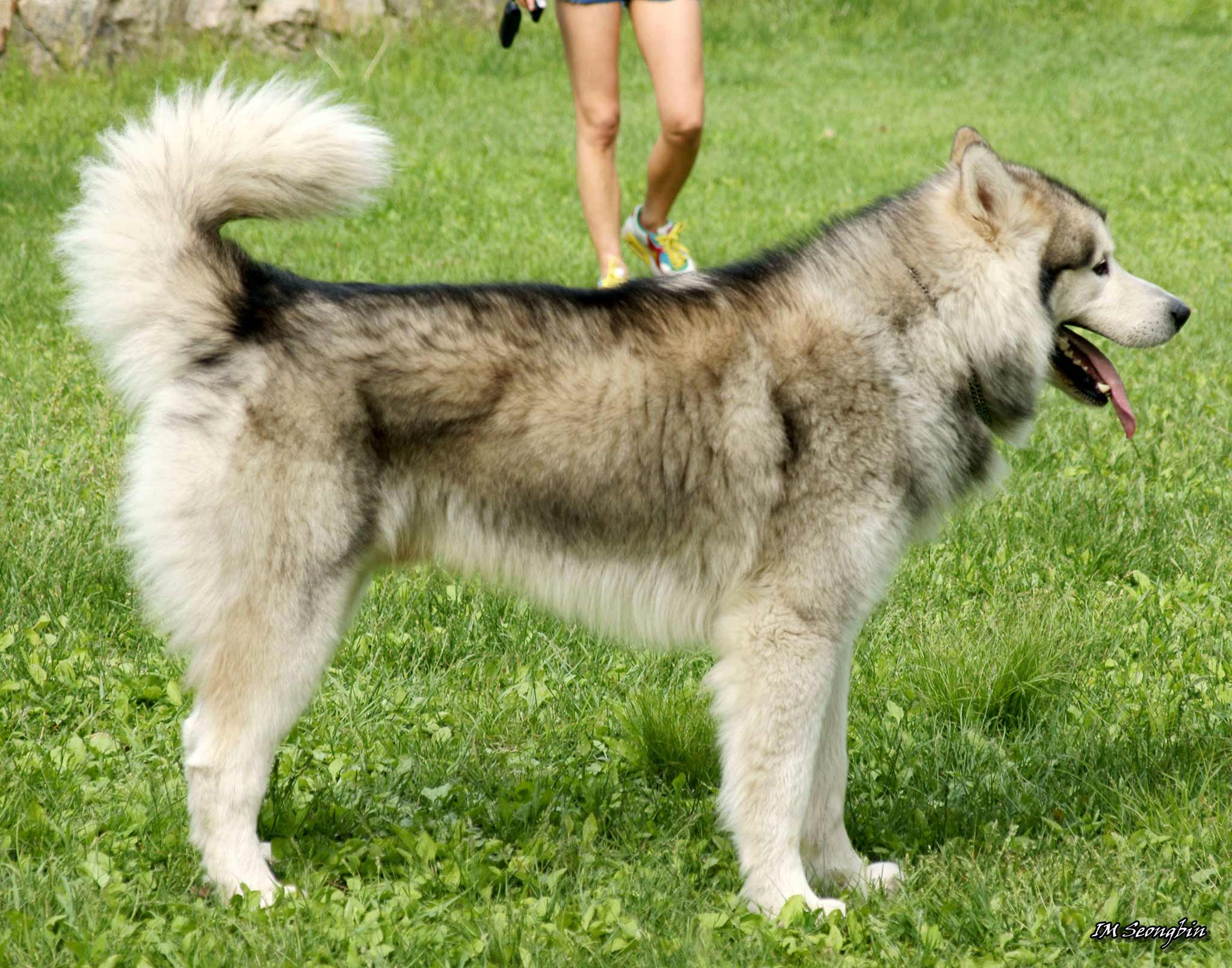Alaskan malamute dog breed information pictures more sable and white alaskan malamute nvjuhfo Gallery