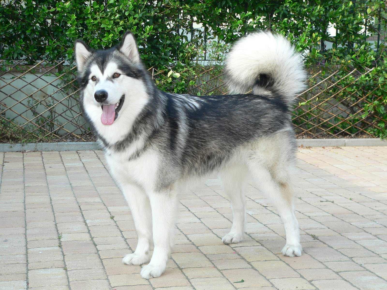 Alaskan Malamute Dog B...
