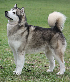 Alaskan Malamute Dog Breed » Information, Pictures, & More