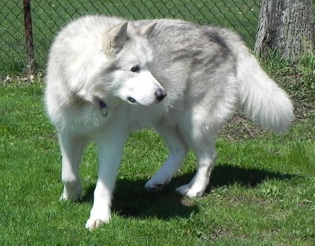 Alaskan Malamute Dog Breed 187 Information Pictures Amp More