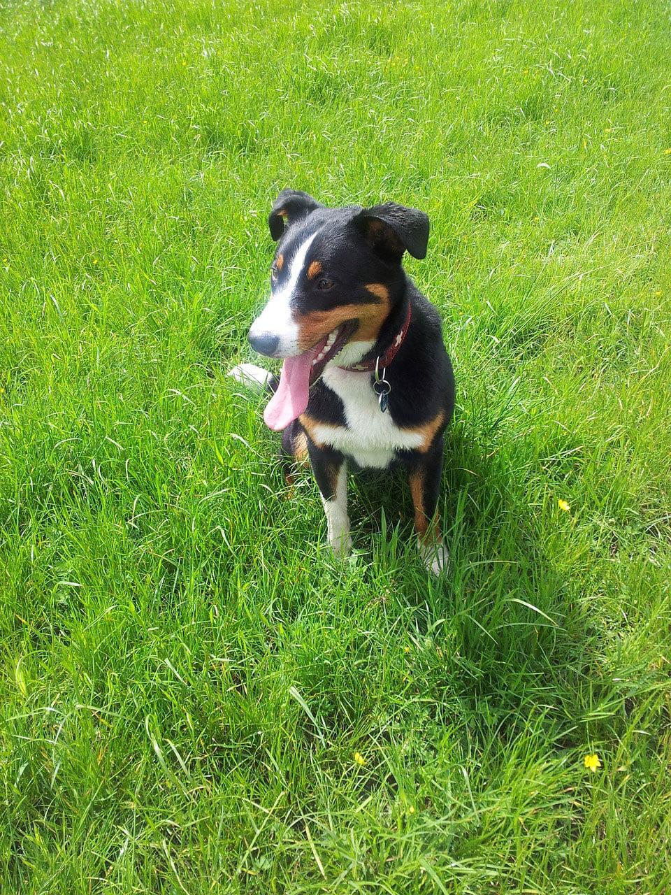 Appenzeller Sennenhund Dog Breed » Info, Pics, & More