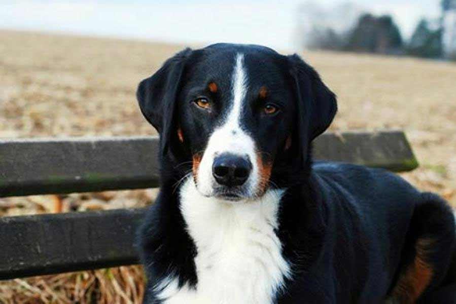 Appenzeller Sennenhund Dog Breed 187 Info Pics Amp More