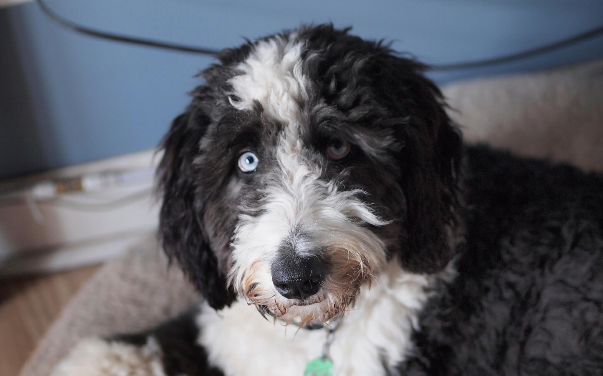 Aussiedoodle Dog Breed 187 Australian Shepherd Poodle Mix
