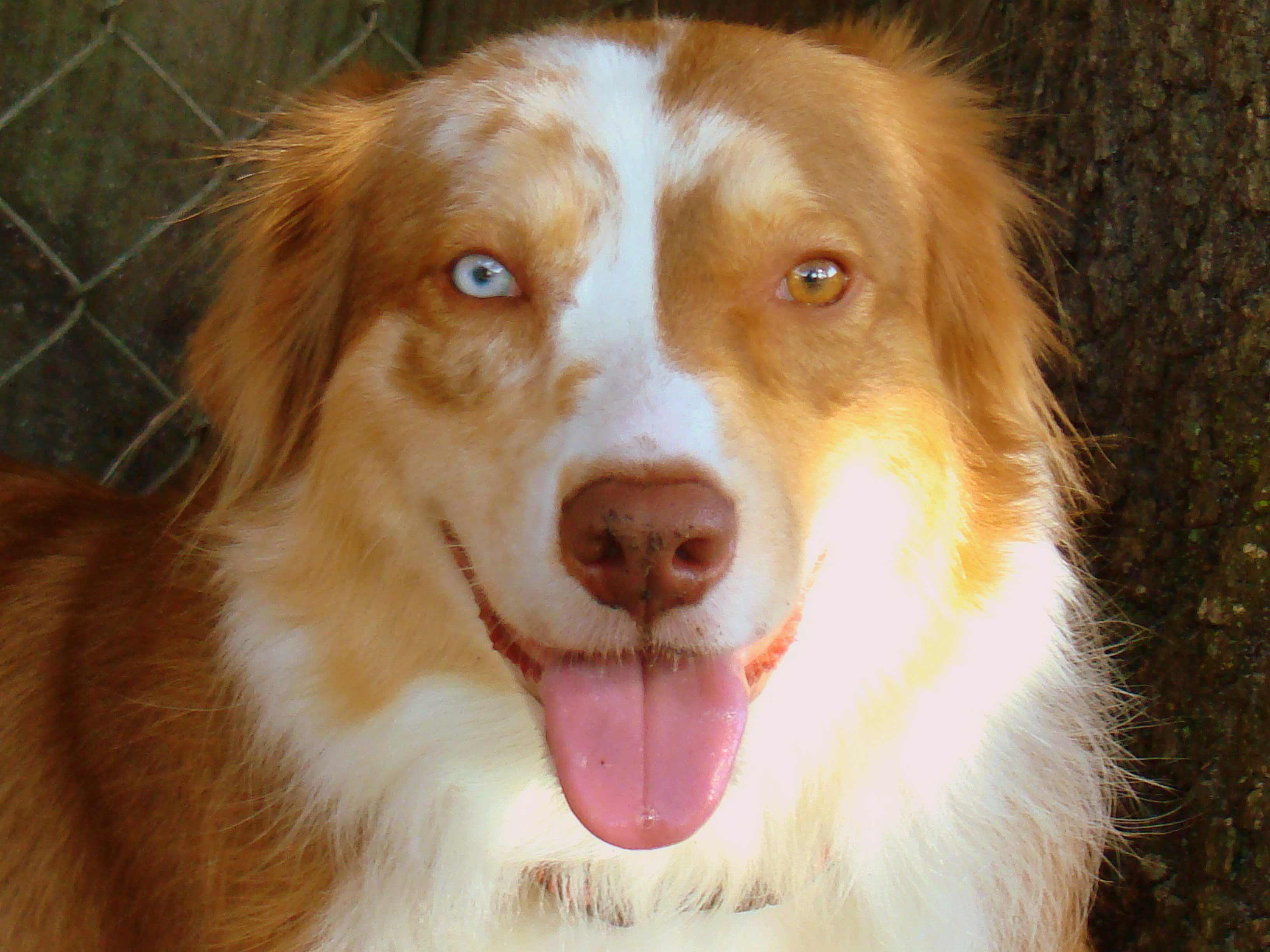 Most Common Australian Dog Breeds