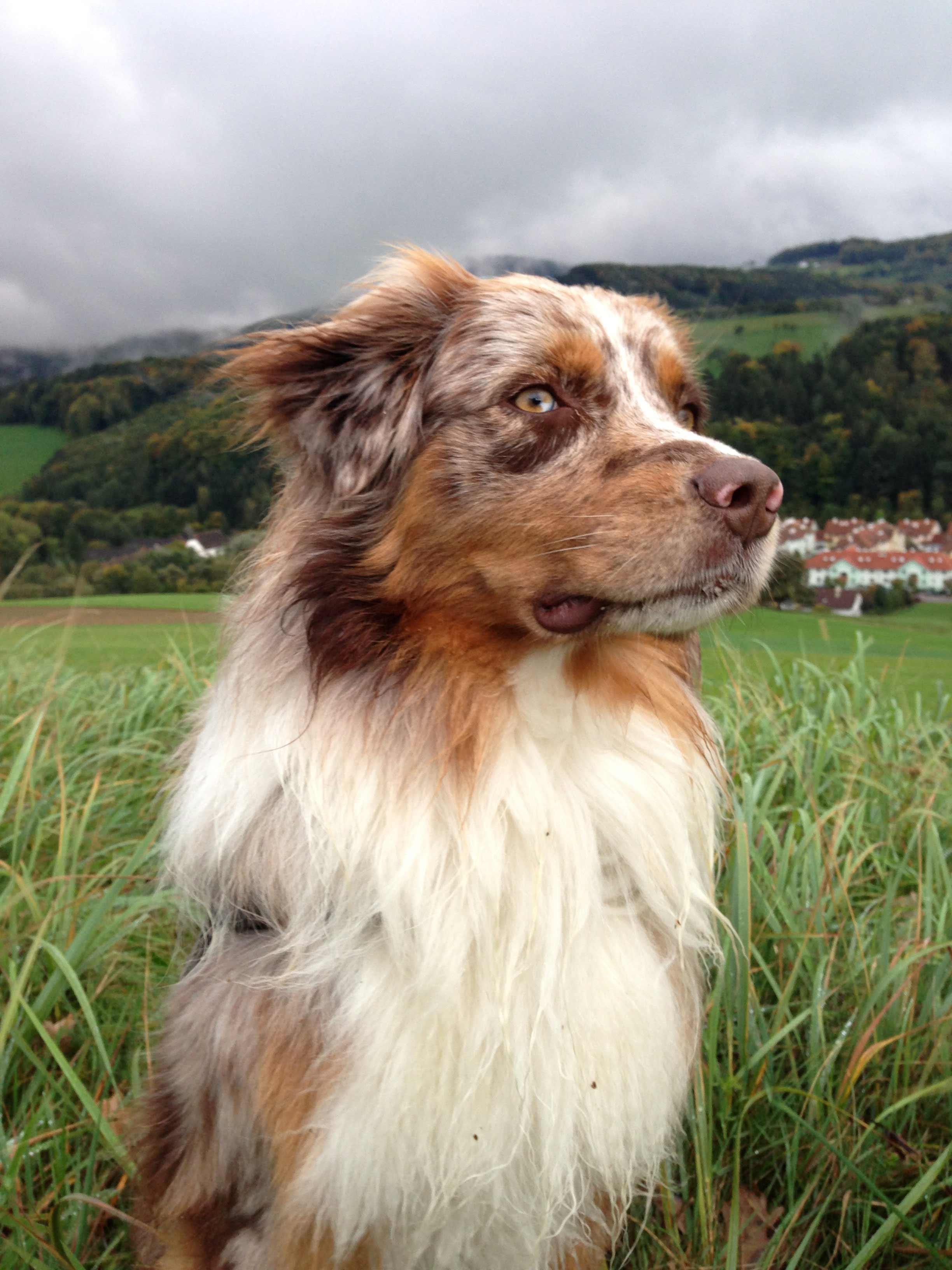 The Australian Women S Weekly The Best Of Disney Kid S: Australian Shepherd Dog Breed » Information, Pictures, & More