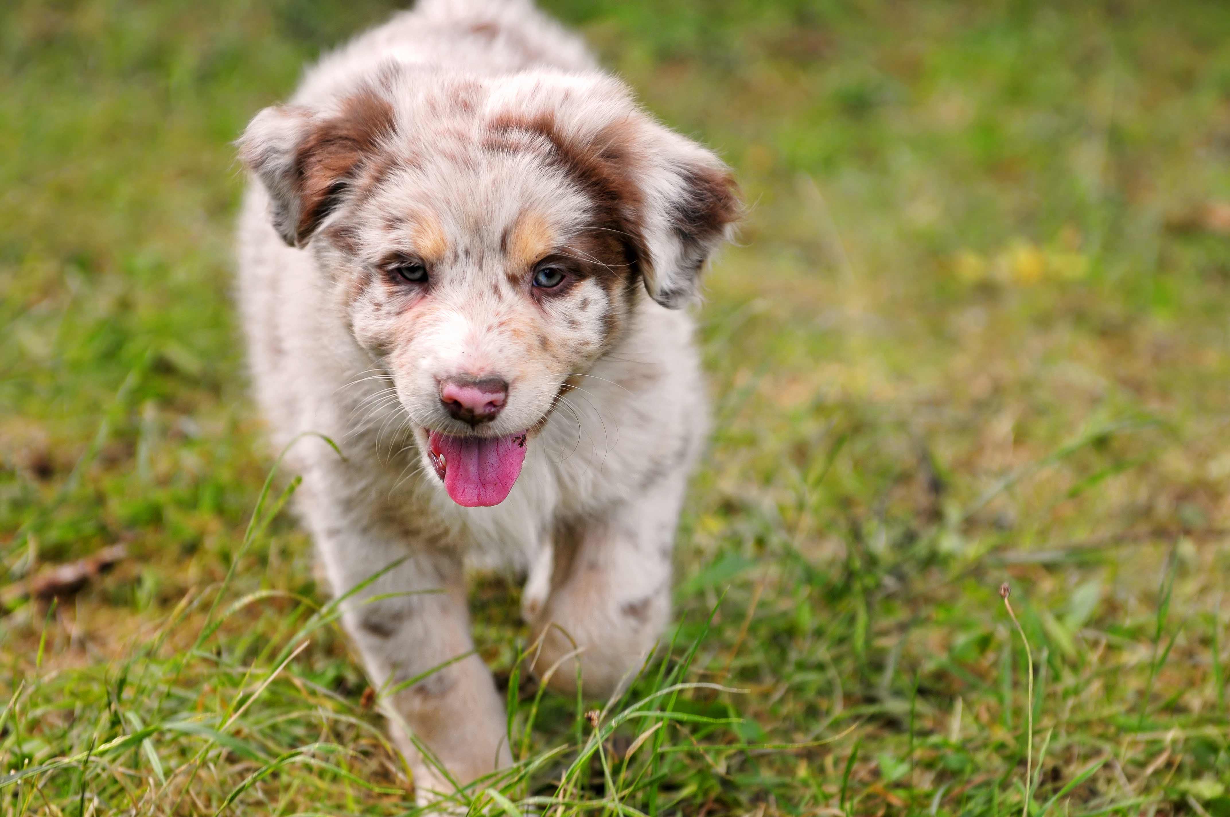 Australian Shepherd Dog Breed 187 Information Pictures Amp More