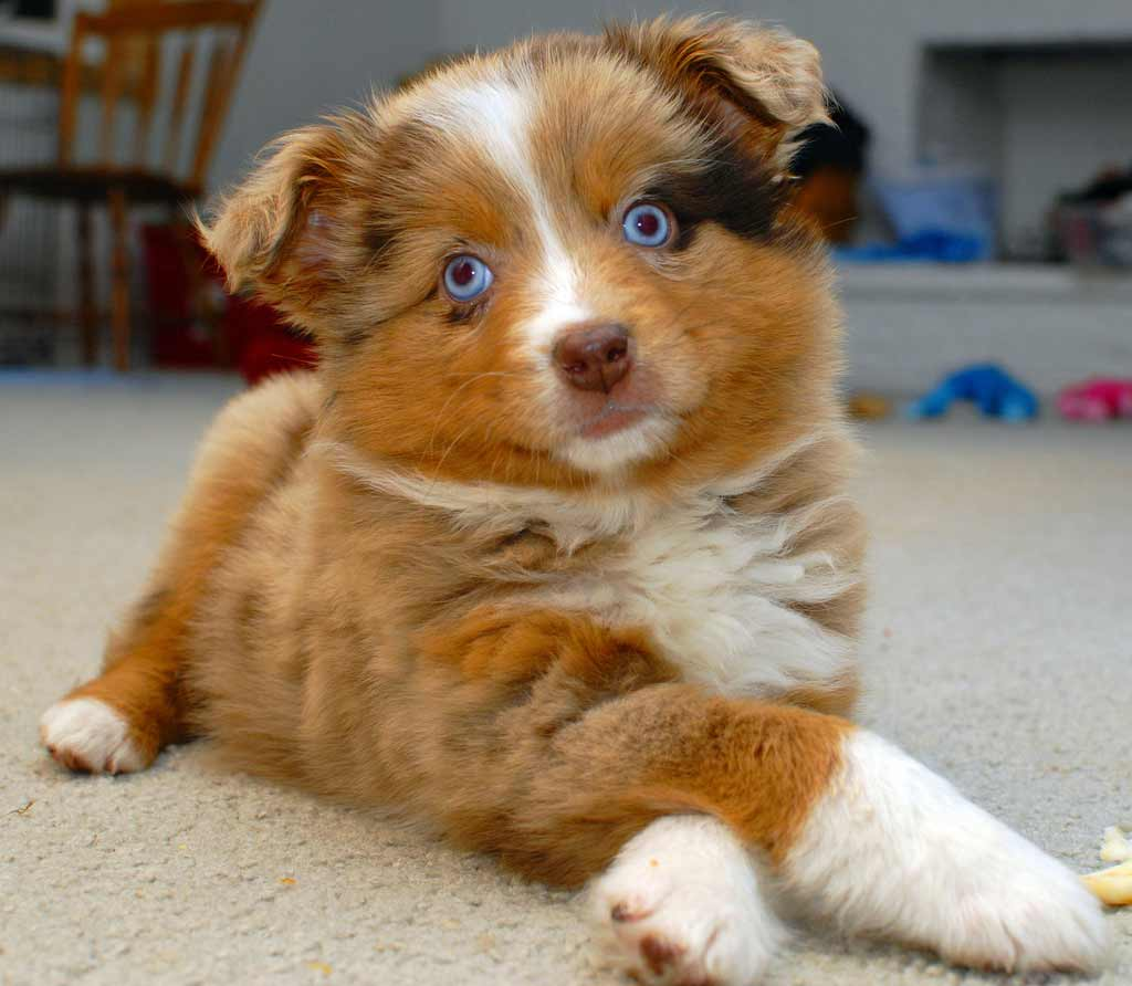 Australian Shepherd Dog Breed 187 Information Pictures Amp More