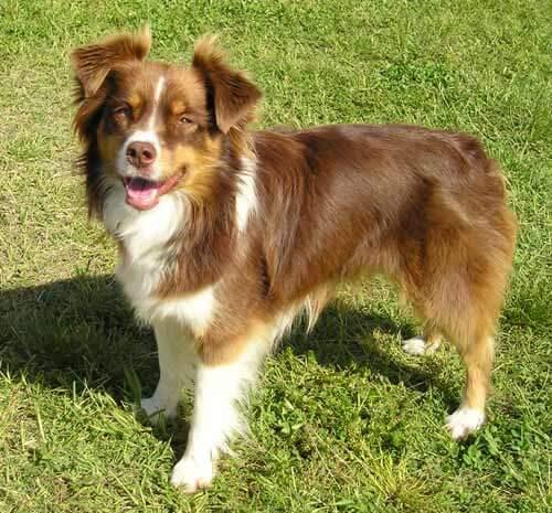 australian shepherd dog breed  u00bb information  pictures   u0026 more
