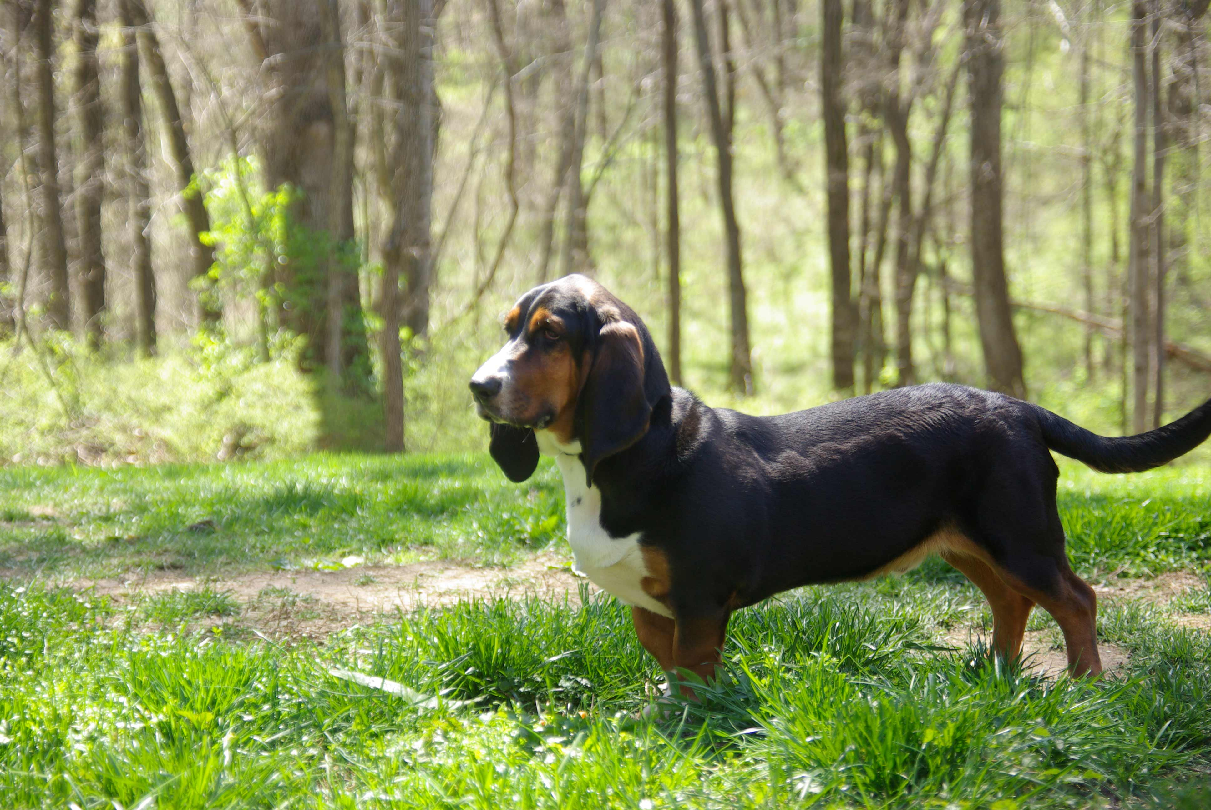10 Best Pointer Dog Names  |Black And White Hound Dog