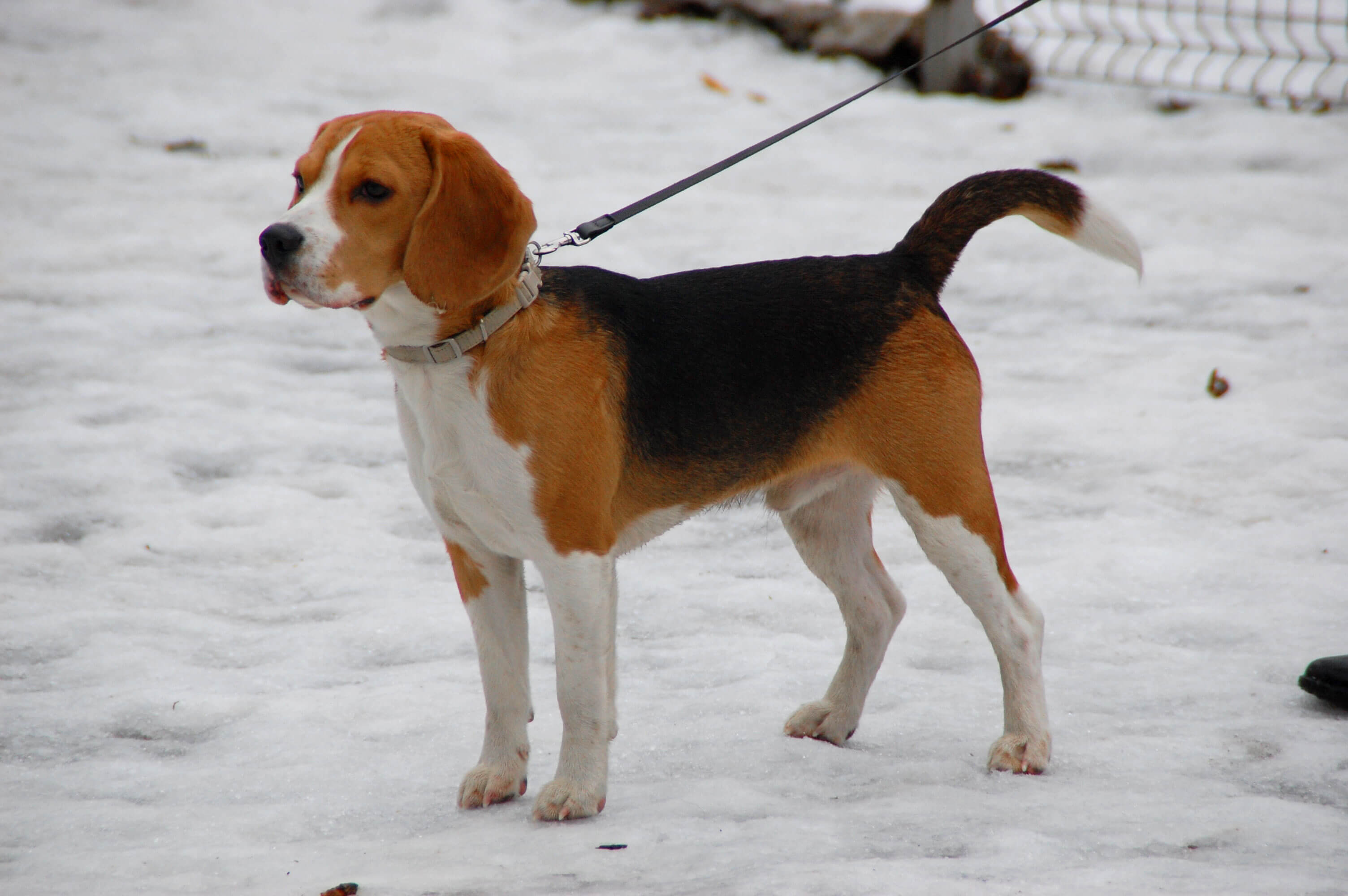 Beagle Dog Breed » Information, Pictures, & More