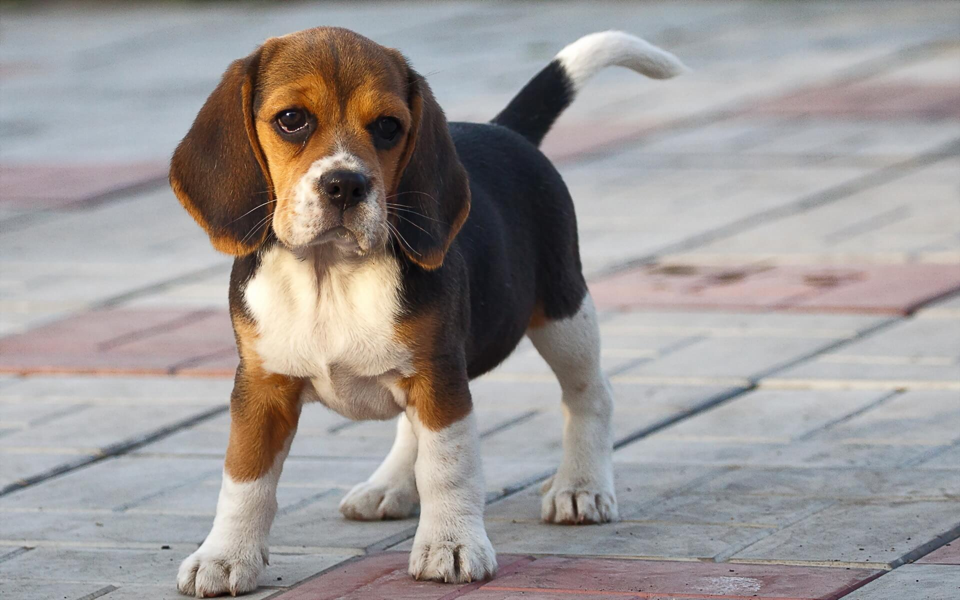 beagle dog breed  u00bb information  pictures   u0026 more