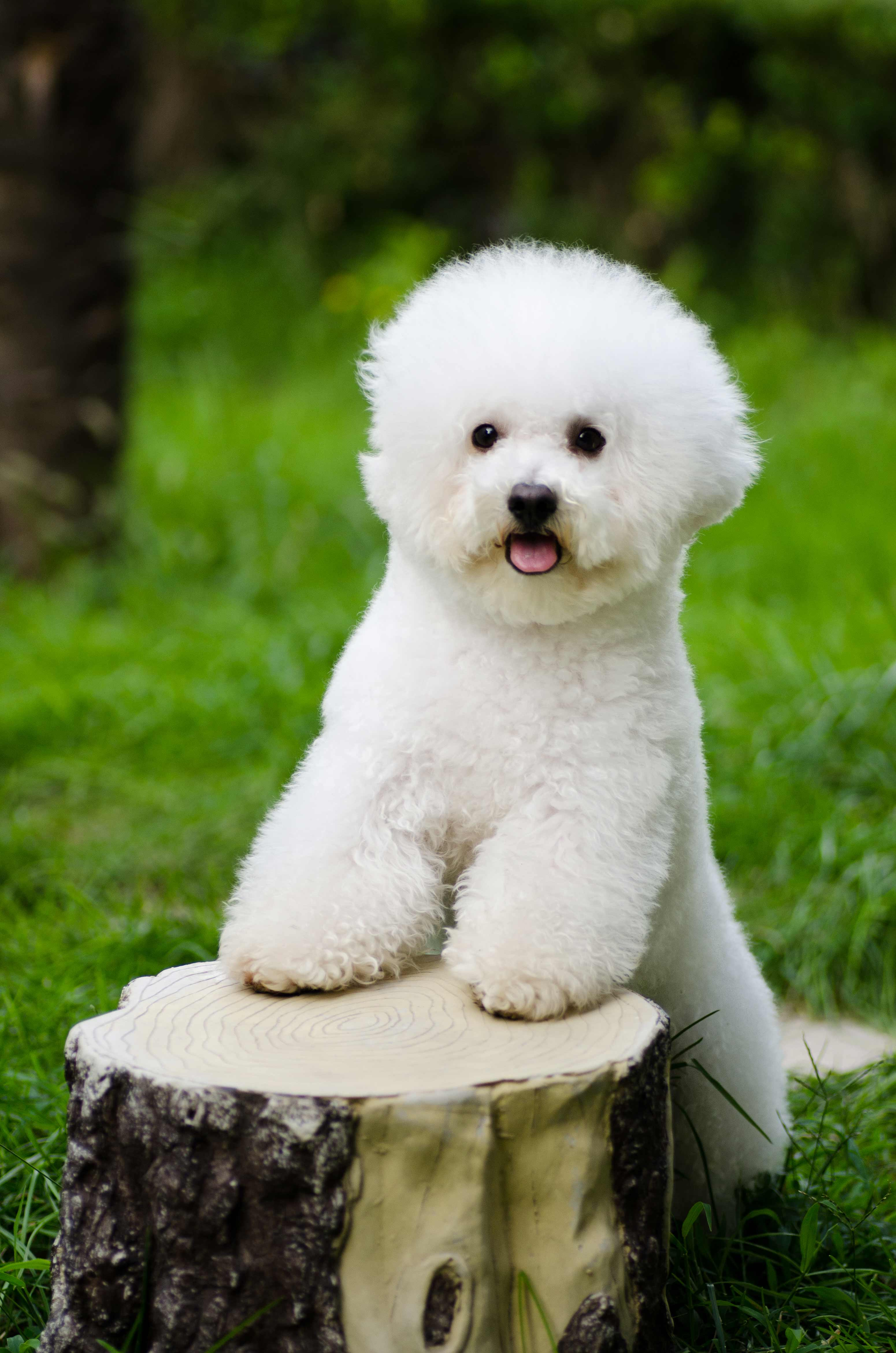 Small White Bichon Frise Dog | Dog Breeds Picture