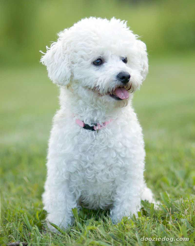 Bichon Frise Dog Breed 187 Information Pictures Amp More