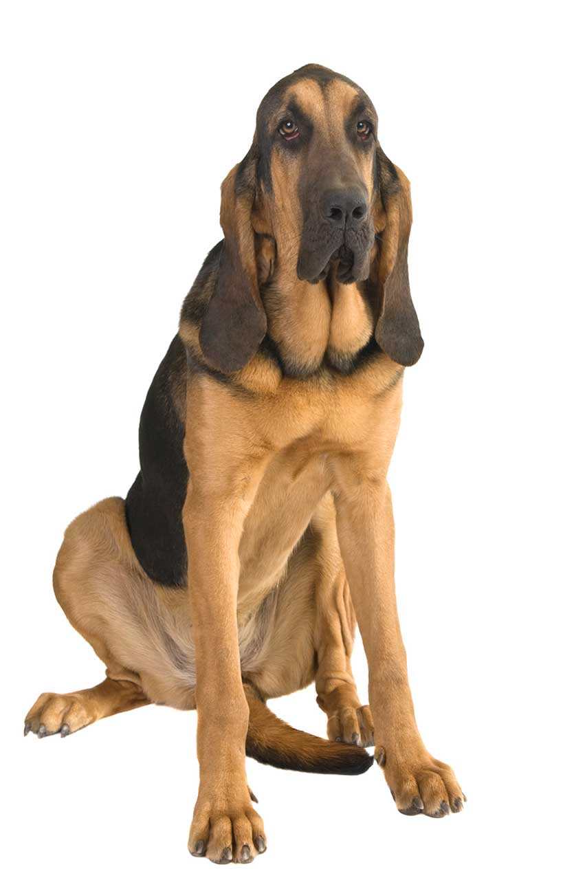 Bloodhound Dog Breed » Information, Pictures, & More