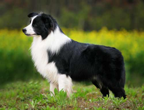 Border Collie Dog Bree...