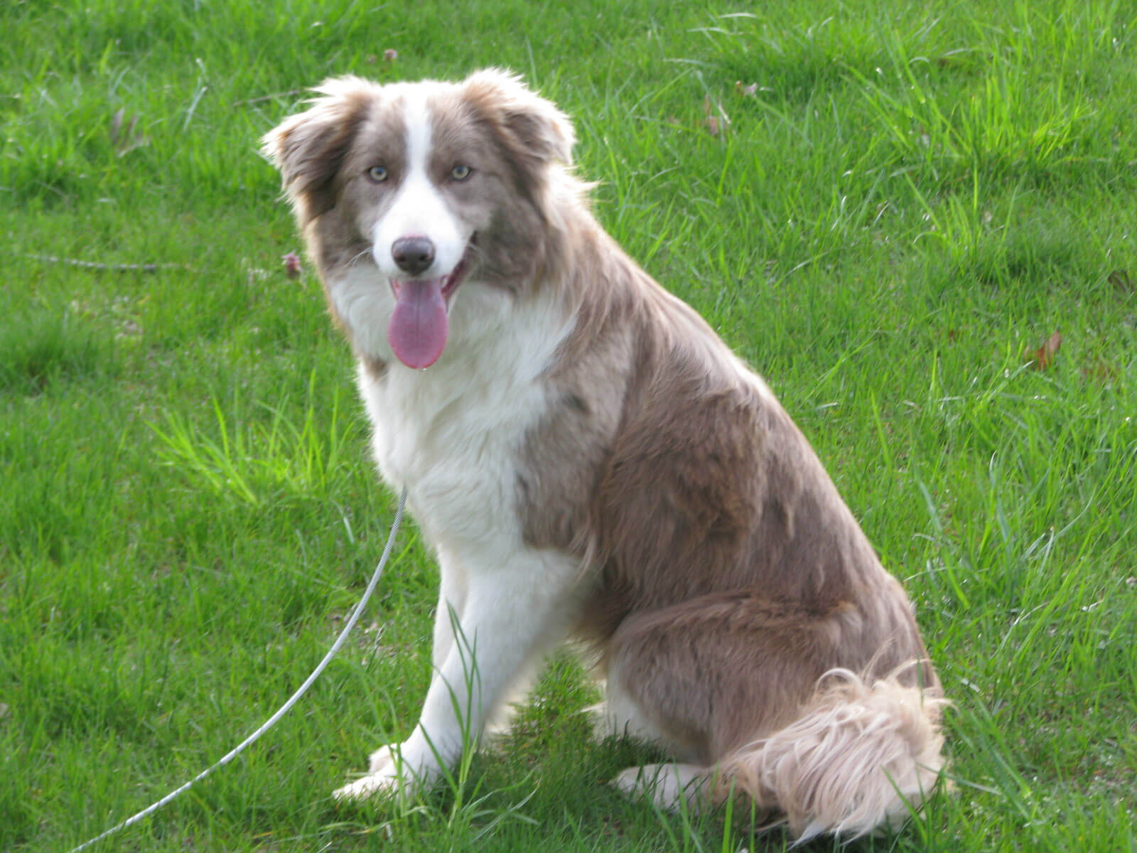 Border Collie Dog Breed 187 Information Pictures Amp More