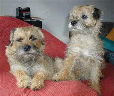 Border Terrier Dog Breed 187 Information Pictures Amp More