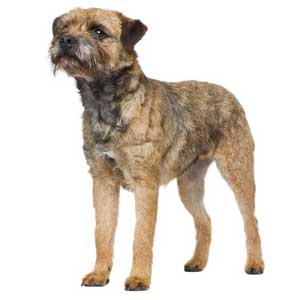 border terrier dog breed overview the border terrier is a very popular ...