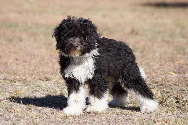 Bordoodle Dog Breed 187 Information Pictures Amp More
