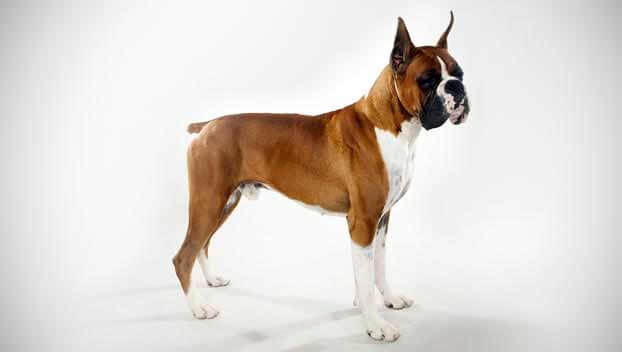 Boxer Dog Breed 187 Information Pictures Amp More