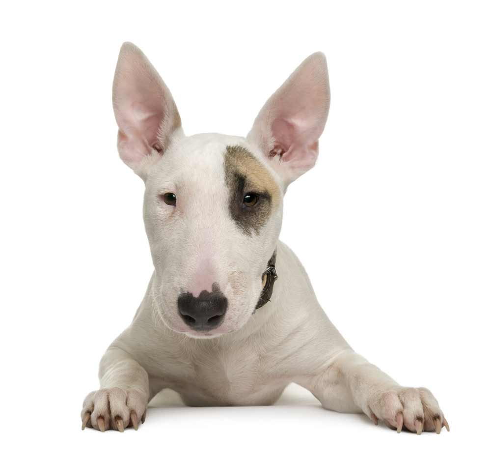 Bull Terrier Dog Breed 187 Information Pictures Amp More