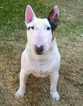 Bull Terrier Dog Breed » Information, Pictures, & More