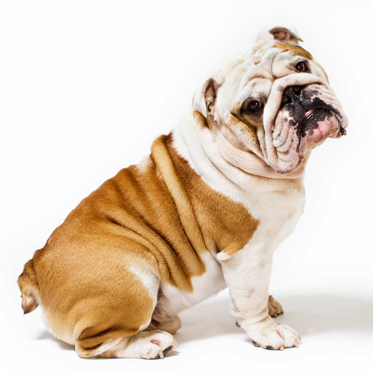Bulldog Dog Breed 187 Information Pictures Amp More