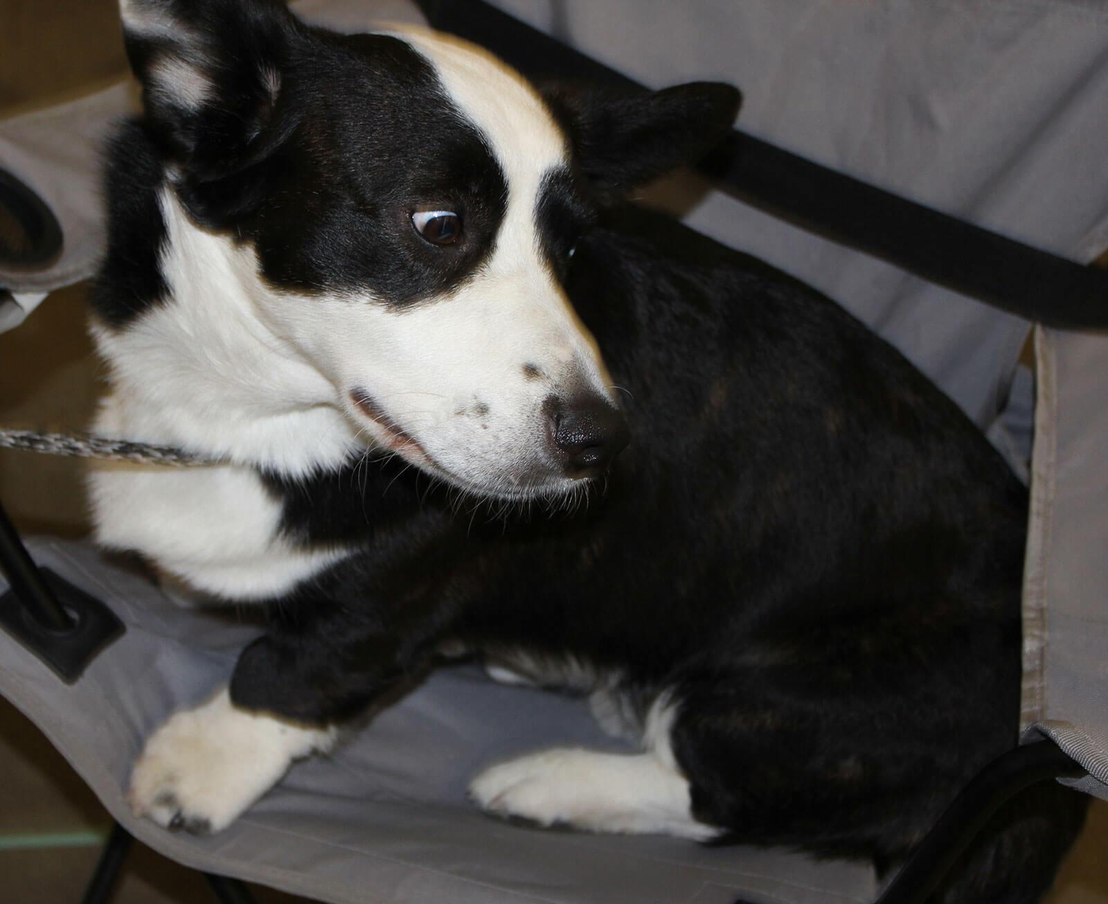 cardigan welsh corgi dog breed  u00bb info  pictures   u0026 more