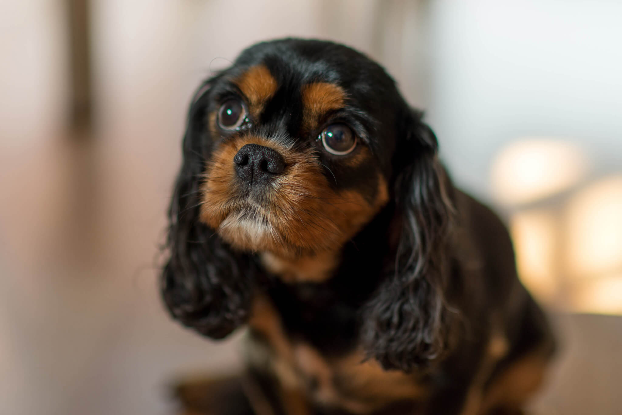 Cavalier king charles spaniel information pictures more black white black and tan cavalier king charles spaniel nvjuhfo Choice Image