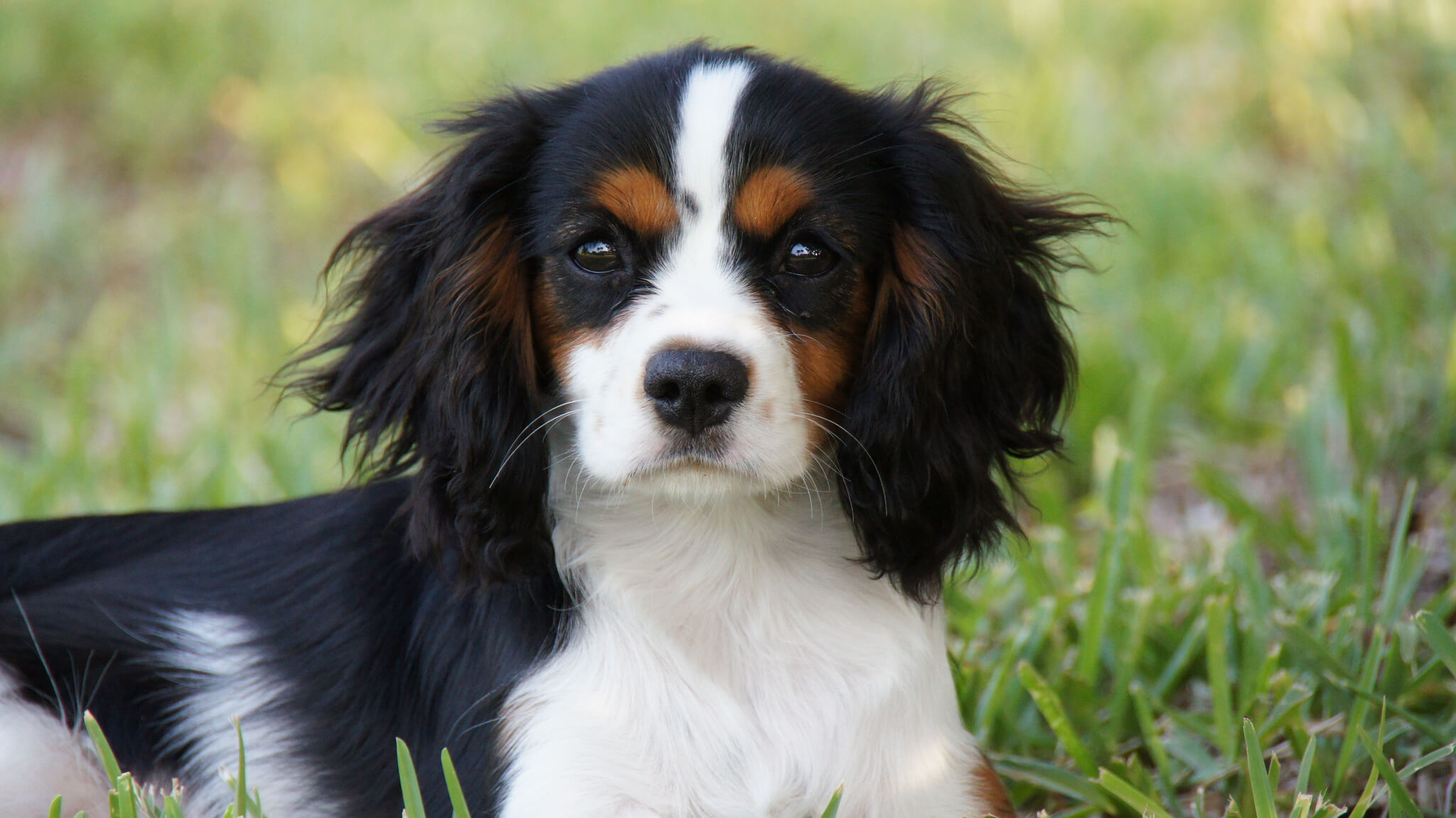 Cavalier king charles spaniel information pictures more cavalier king charles spaniel black nvjuhfo Image collections