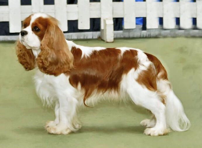 Cavalier King Charles Spaniel 187 Information Pictures Amp More