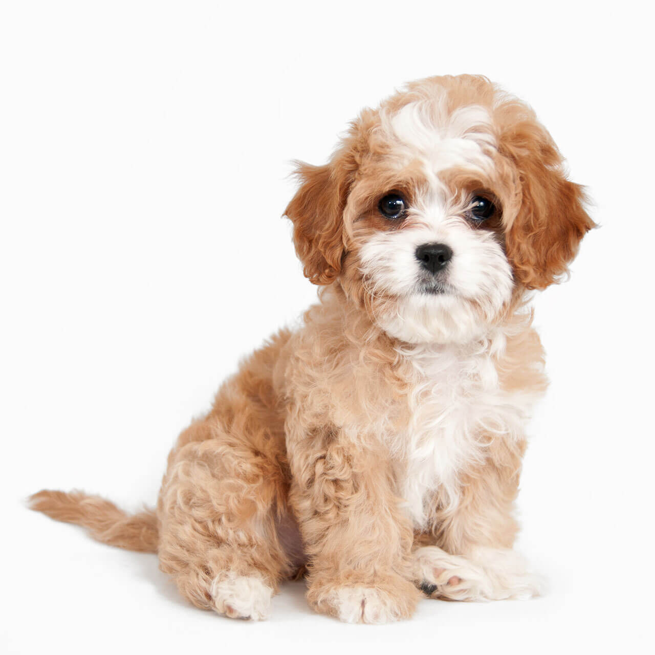 Cavapoo dog breed breed info pictures more cavapoo puppy sitting nvjuhfo Choice Image