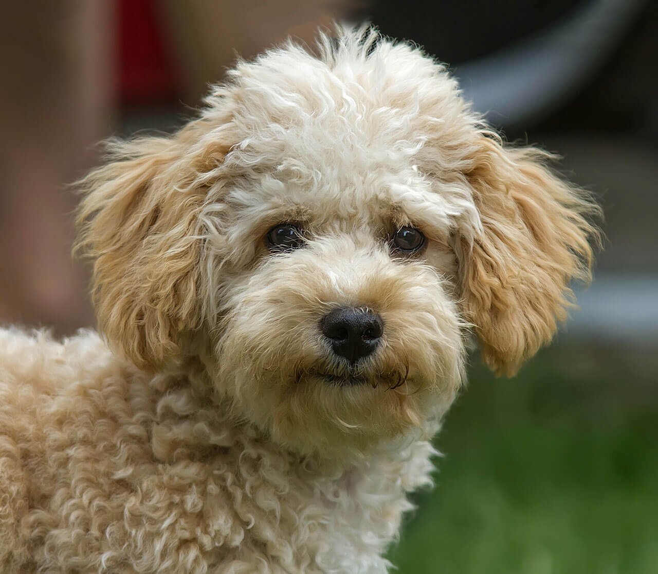 Dog Breeds Who Can Be Left Alone