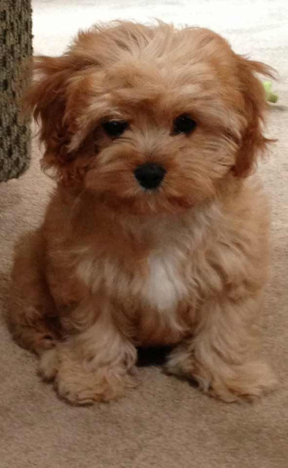 Cavapoo Dog Breed » Breed Info, Pictures, & More