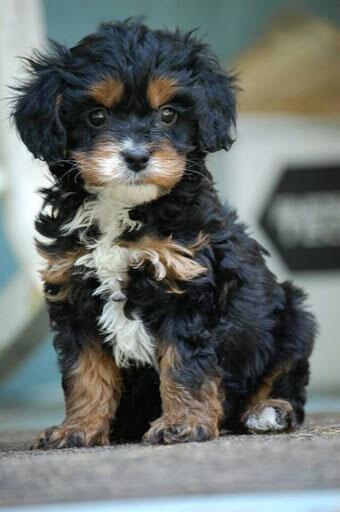 Priceless Yorkie Puppy