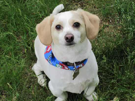 Cheagle Dog Breed » Chihuahua Beagle Mix