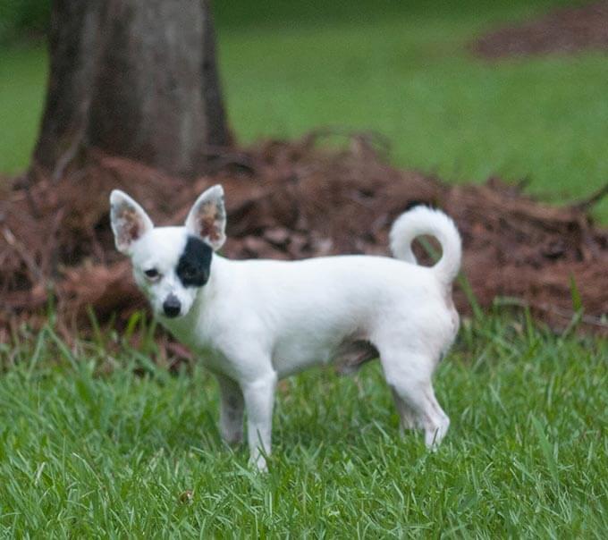 Black and White Chihuahua